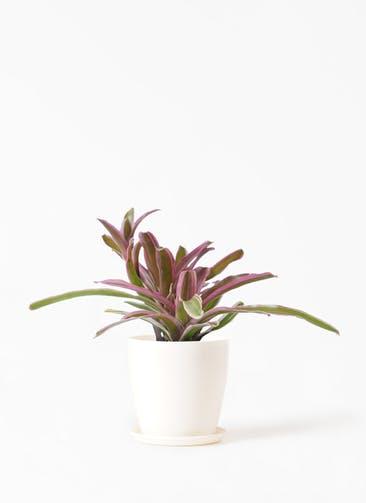 観葉植物 ネオレゲリア 3号 ラスターポット 付き