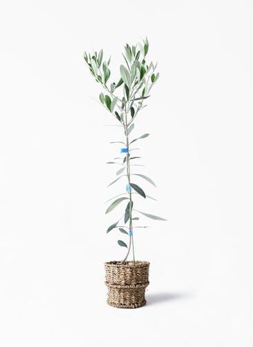 観葉植物 オリーブの木 3.5号 ルッカ バスケット 付き