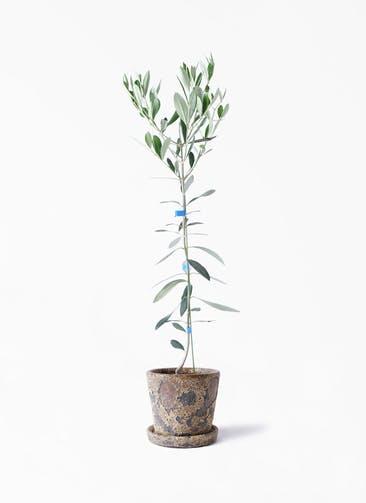 観葉植物 オリーブの木 3.5号 ルッカ ハレー カーキー 付き