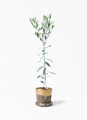 観葉植物 オリーブの木 3.5号 ルッカ ハレー ブロンズ 付き