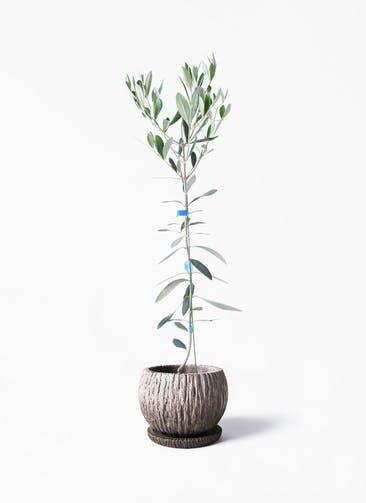 観葉植物 オリーブの木 3.5号 ルッカ ストーン ウェア セラミック 付き
