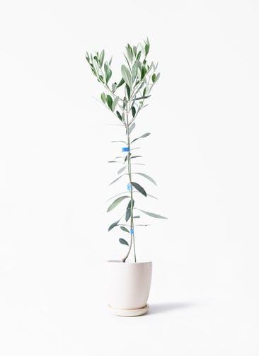 観葉植物 オリーブの木 3.5号 ルッカ アステア トール ホワイト 付き