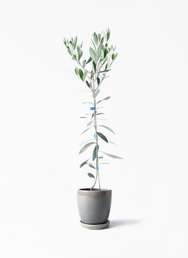 観葉植物 オリーブの木 3.5号 ルッカ アステア トール ライトグレー 付き