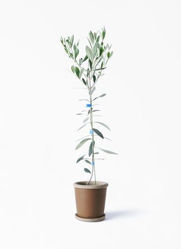 観葉植物 オリーブの木 3.5号 ルッカ キャメルポット ブラウン 付き