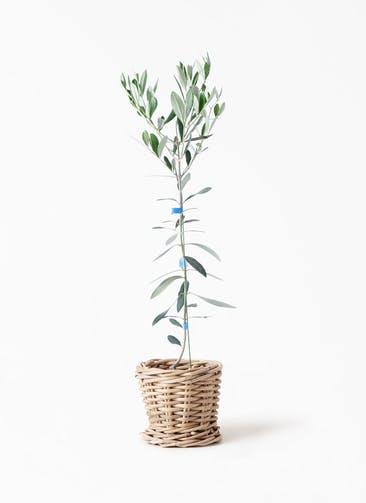 観葉植物 オリーブの木 3.5号 ルッカ グレイラタン 付き