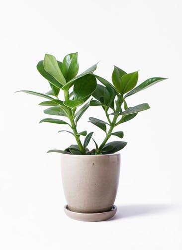 観葉植物 クルシア ロゼア プリンセス 4号 アステア トール ベージュ 付き
