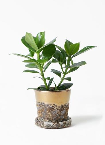 観葉植物 クルシア ロゼア プリンセス 4号 ハレー ブロンズ 付き