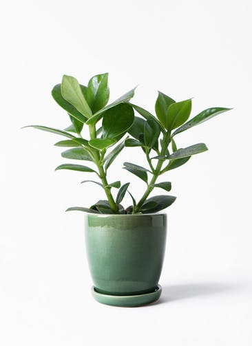 観葉植物 クルシア ロゼア プリンセス 4号 アステア トール グリーン 付き