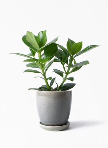 観葉植物 クルシア ロゼア プリンセス 4号 アステア トール ライトグレー 付き