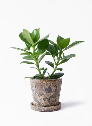 観葉植物 クルシア ロゼア プリンセス 4号 ハレー カーキー 付き