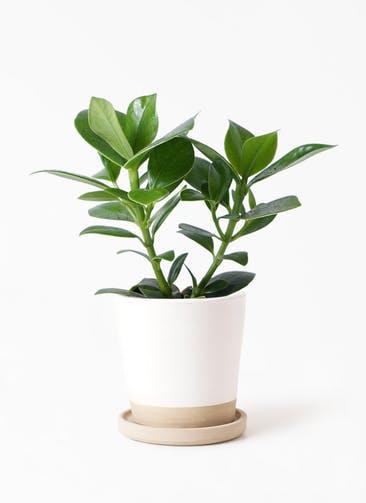 観葉植物 クルシア ロゼア プリンセス 4号 マット グレーズ テラコッタ ホワイト 付き