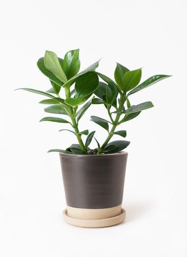 観葉植物 クルシア ロゼア プリンセス 4号 マット グレーズ テラコッタ ブラック 付き