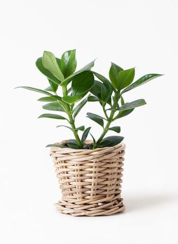 観葉植物 クルシア ロゼア プリンセス 4号 グレイラタン 付き