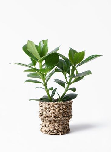 観葉植物 クルシア ロゼア プリンセス 4号 バスケット 付き