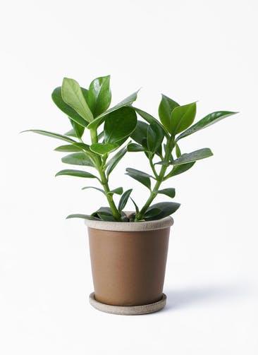 観葉植物 クルシア ロゼア プリンセス 4号 キャメルポット ブラウン 付き