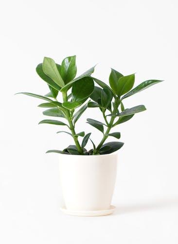 観葉植物 クルシア ロゼア プリンセス 4号 ラスターポット 付き