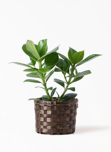 観葉植物 クルシア ロゼア プリンセス 4号 竹バスケット付き