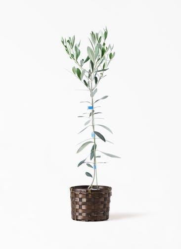 観葉植物 オリーブの木 3.5号 ルッカ 竹バスケット付き
