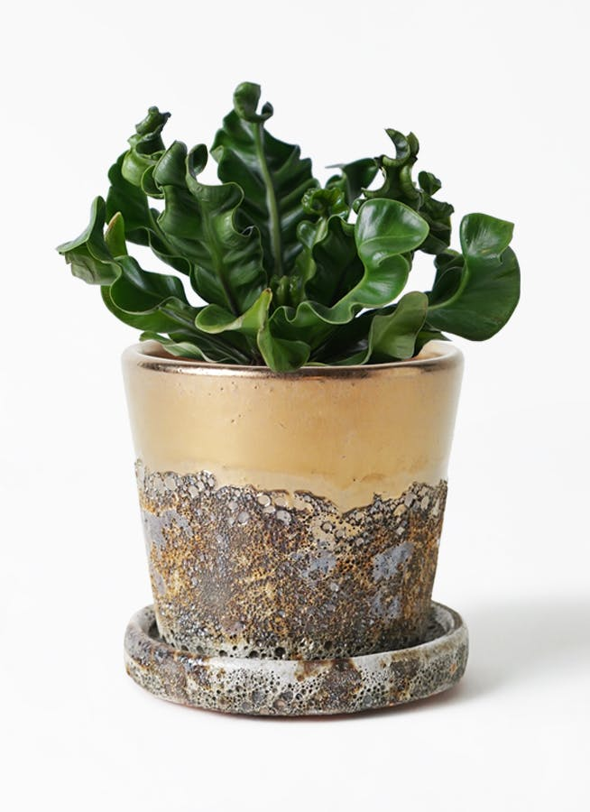 観葉植物 アスプレニウム 4号 ハレー ブロンズ 付き