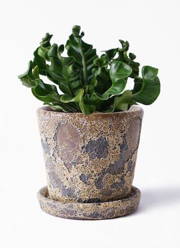 観葉植物 アスプレニウム 4号 ハレー カーキー 付き