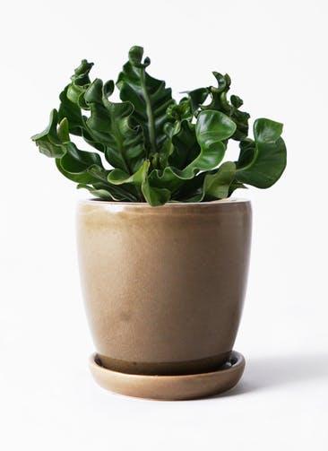 観葉植物 アスプレニウム 4号 アステア トール ブラウン 付き