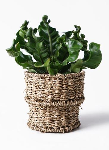 観葉植物 アスプレニウム 4号 バスケット 付き