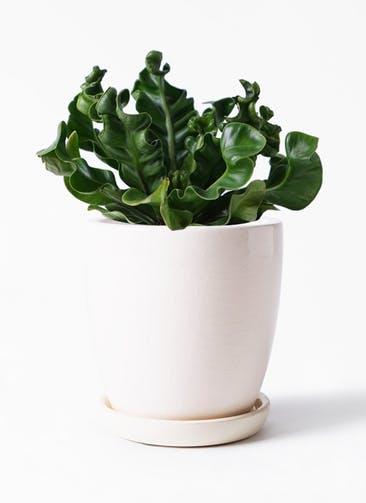 観葉植物 アスプレニウム 4号 アステア トール ホワイト 付き