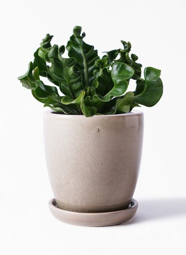 観葉植物 アスプレニウム 4号 アステア トール ベージュ 付き