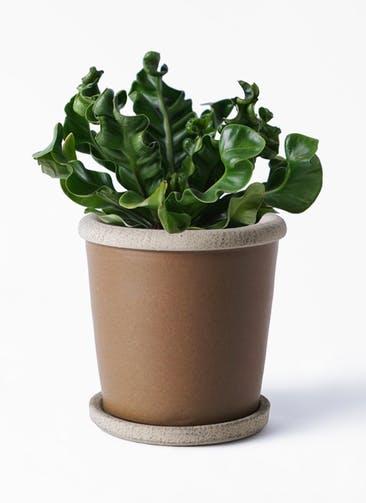 観葉植物 アスプレニウム 4号 キャメルポット ブラウン 付き