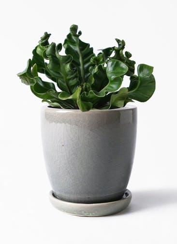 観葉植物 アスプレニウム 4号 アステア トール ライトグレー 付き