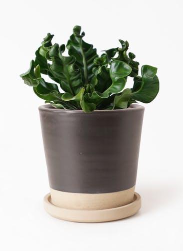 観葉植物 アスプレニウム 4号 マット グレーズ テラコッタ ブラック 付き
