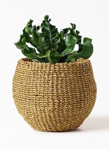 観葉植物 アスプレニウム 4号 アバカバスケット オリーブ 付き