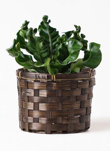 観葉植物 アスプレニウム 4号 竹バスケット付き