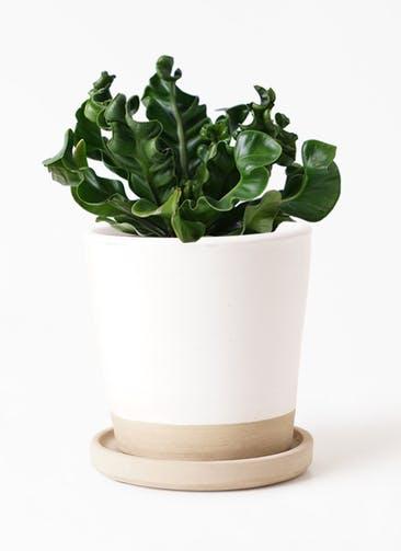観葉植物 アスプレニウム 4号 マット グレーズ テラコッタ ホワイト 付き