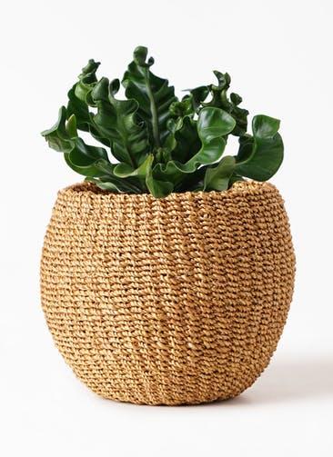 観葉植物 アスプレニウム 4号 アバカバスケット タン 付き
