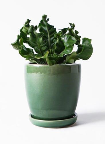 観葉植物 アスプレニウム 4号 アステア トール グリーン 付き