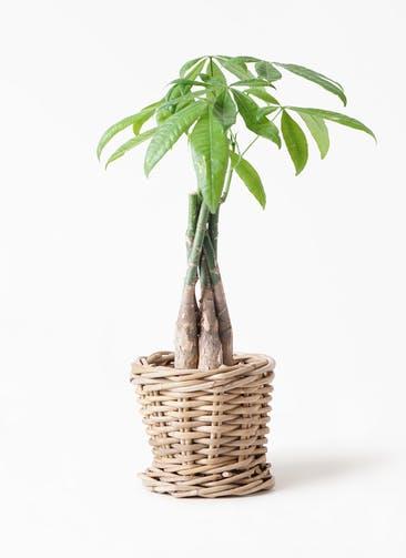 観葉植物 パキラ 4号 ねじり グレイラタン 付き