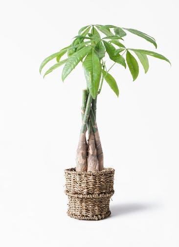 観葉植物 パキラ 4号 ねじり バスケット 付き