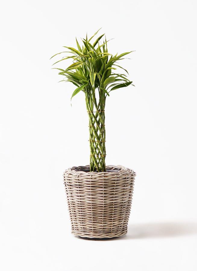 観葉植物 ドラセナ ミリオンバンブー(幸運の竹) 7号 モンデリック ラタン 付き