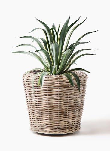 観葉植物 アガベ 7号 ベネズエラ モンデリック ラタン 付き