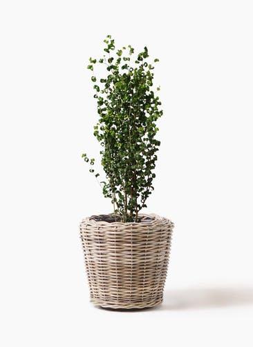 観葉植物 フィカス ベンジャミン 7号 バロック モンデリック ラタン 付き