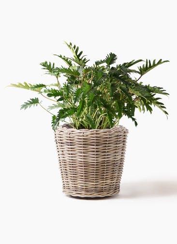 観葉植物 クッカバラ 7号 モンデリック ラタン 付き