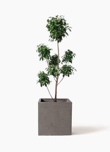 観葉植物 フィカス ナナ 7号 ボサチラシ コンカー キューブ  灰 付き