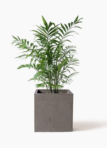 観葉植物 テーブルヤシ 7号 コンカー キューブ  灰 付き