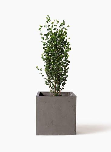 観葉植物 フィカス ベンジャミン 7号 バロック コンカー キューブ  灰 付き