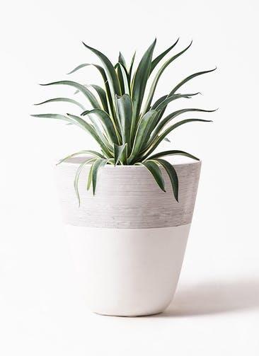 観葉植物 アガベ 7号 ベネズエラ ジュピター 白 付き