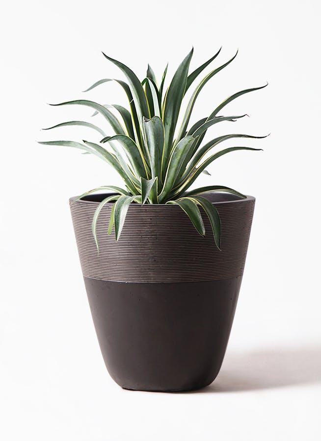 観葉植物 アガベ 7号 ベネズエラ ジュピター 黒 付き