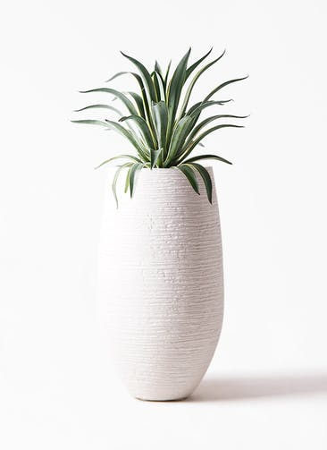 観葉植物 アガベ 7号 ベネズエラ フォンティーヌトール 白 付き
