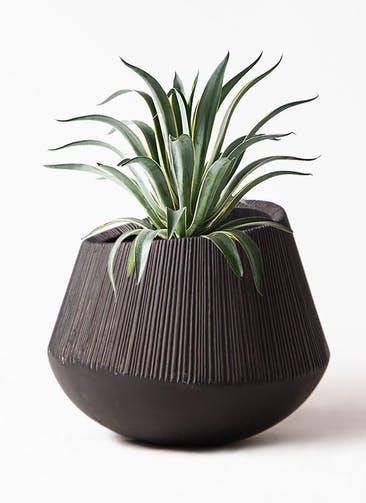 観葉植物 アガベ 7号 ベネズエラ エディラウンド 黒 付き