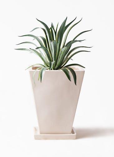 観葉植物 アガベ 7号 ベネズエラ スクエアハット 白 付き